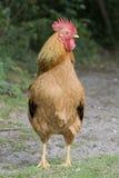 赤褐色公鸡特写镜头 图库摄影