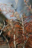 赤褐色灌木 免版税库存照片