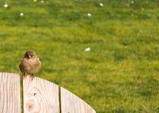 赤褐色麻雀 库存图片