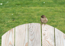 赤褐色麻雀 免版税图库摄影