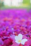 赤素馨花。 免版税库存照片