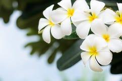 赤素馨花后面地面 库存照片