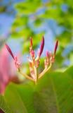 赤素馨花开花红色 免版税库存照片