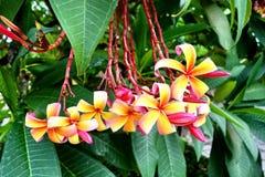 赤素馨花或plumaria花 免版税图库摄影