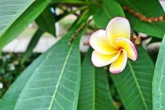 赤素馨花或plumaria花 图库摄影