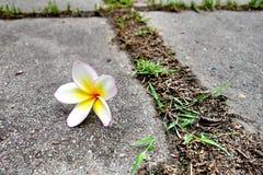 赤素馨花或plumaria花 免版税库存图片