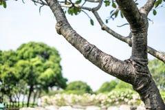 赤素馨花树 免版税库存图片