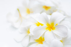 赤素馨花瓣 免版税库存照片