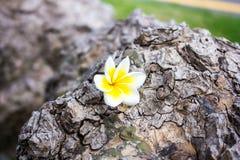 赤素馨花羽毛和甜花在木颜色和sharpn 图库摄影