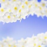 赤素馨花羽毛Templetree蓝色背景 免版税库存图片