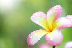 赤素馨花花 图库摄影
