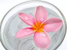 赤素馨花,在水的羽毛花在玻璃 免版税图库摄影