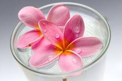 赤素馨花,羽毛花 免版税图库摄影