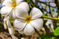 赤素馨花,羽毛,鸡蛋花,坟园树 图库摄影