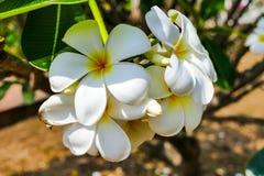 赤素馨花,羽毛,鸡蛋花,坟园树 免版税库存图片