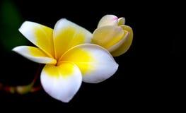 赤素馨花,羽毛, Templetree自然花 免版税库存图片