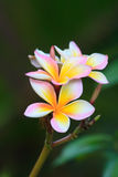 赤素馨花 图库摄影