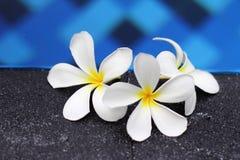 赤素馨花 库存图片