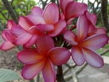 赤素馨花 库存照片