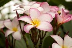 赤素馨花(Plumera) 免版税库存照片