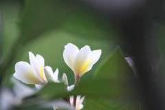 赤素馨花Kamboja花 免版税图库摄影