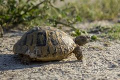 赫尔曼爬行在自然的` s草龟在保加利亚 库存图片