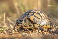 赫尔曼的草龟(陆龟hermanni)在象草的环境Ital里 库存图片