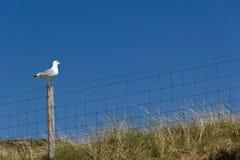 赫布里底群岛的海鸥 图库摄影