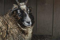 赫布里底群岛的绵羊 图库摄影