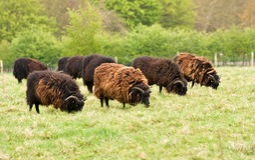 赫布里底群岛的绵羊 库存照片