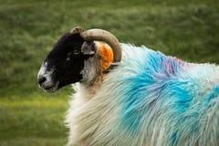 赫布里底群岛的绵羊 库存图片