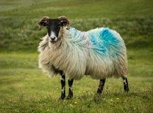 赫布里底群岛的绵羊 免版税库存图片