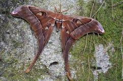 赫拉克勒斯树的飞蛾基于 免版税库存图片