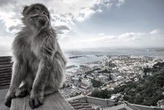 赫拉克勒斯猴子在直布罗陀 免版税库存图片