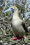 赫诺韦萨岛的加拉帕戈斯红有脚的笨蛋 库存照片