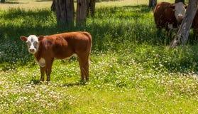 赫里福德妈妈和小牛在春天 库存图片