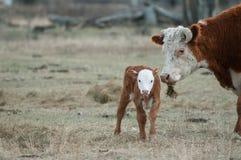 赫里福德小牛和赫里福德母牛 免版税图库摄影
