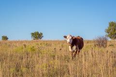 赫里福德母牛在牧场地 库存图片