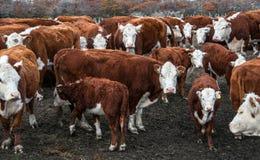 赫里福德牛母牛  免版税库存照片
