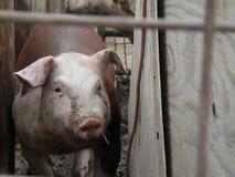 赫里福德肉猪 免版税库存图片