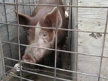 赫里福德肉猪 免版税图库摄影