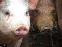 赫里福德肉猪 库存照片