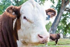 赫里福德semental公牛,怀俄明,美国 免版税图库摄影