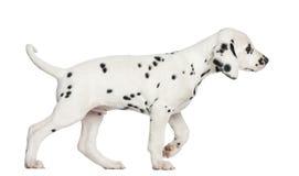 走一只达尔马希亚的小狗的侧视图,被隔绝 图库摄影