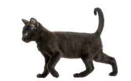 走一只黑的小猫的侧视图, 2个月,被隔绝 图库摄影