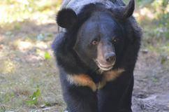 走一头黑太阳的熊的美丽的面孔  图库摄影