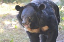走一头黑蜂蜜的熊的面孔  免版税库存图片