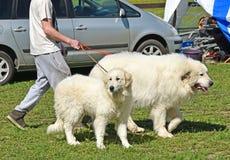 走与两条kuvasz狗的人 库存照片