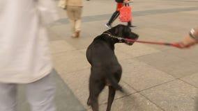 走与他的在中心城市正方形,可爱的宠物,家畜的狗的男性 股票视频
