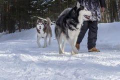 走与他的在冬天森林风景的西伯利亚爱斯基摩人狗的女孩 图库摄影